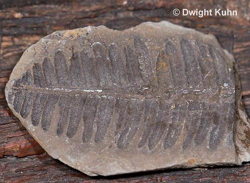 CX15-505z  Fern fossil impression in rock, Pecopteris vestita