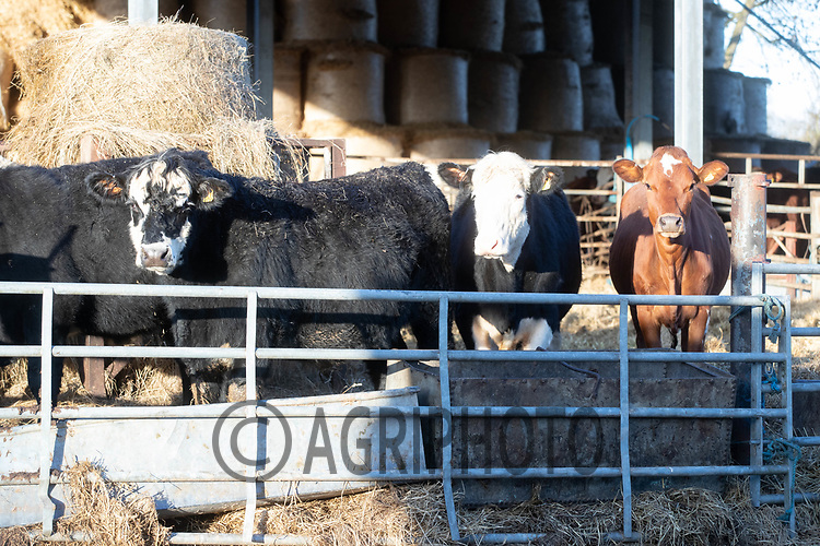 18-2-2021 Suckler cows in straw yards<br /> ©Tim Scrivener Photographer 07850 303986<br />      ....Covering Agriculture In The UK....