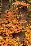 Vine maple leaves with Fall color; Mount Hood National Forest, Cascade Mountains, Oregon.