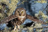 OW02-396z  Saw-whet owl - spreading wings - Aegolius acadicus