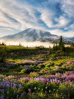 Wildflowers, Mt. Rainier and fog. Mt. Rainier National Park, Waqshington