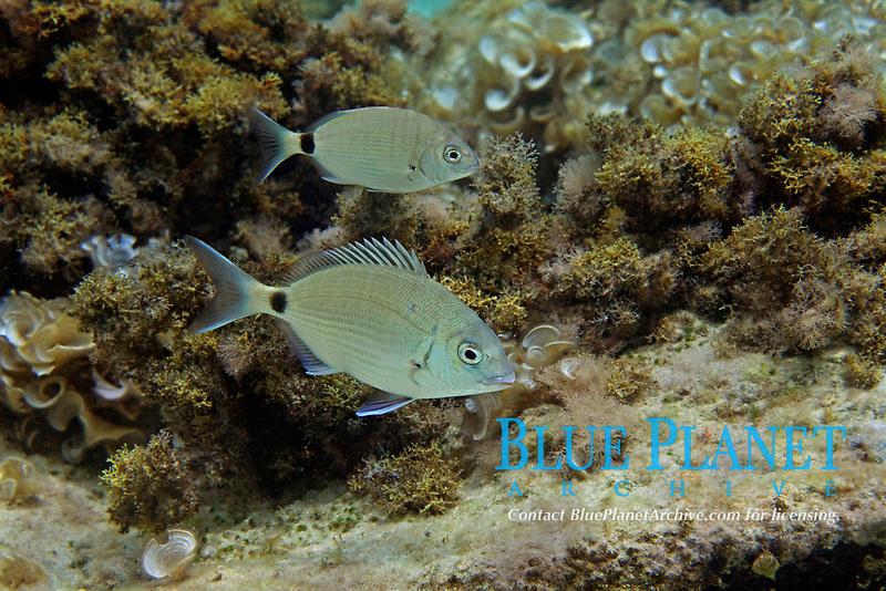 annular sea bream, dioplodus annularis, Aegean sea, Mediterranean