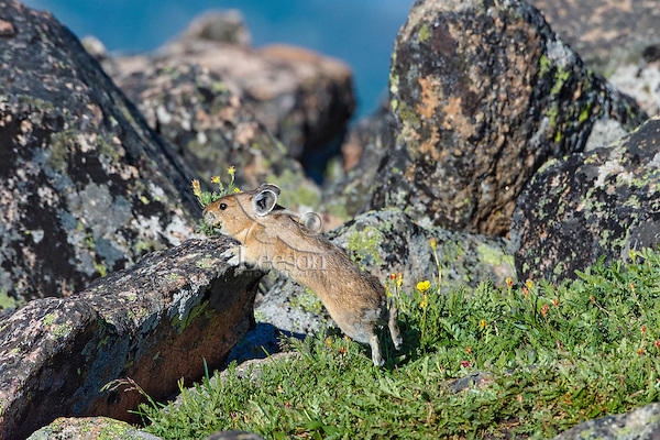 American pika (Ochotona princeps) racing back toward one of its haypiles--winter food caches--with a mouthful of cinquefoil wildflowers.  Beartooth Mountains, Wyoming/Montana.  Summer.  This photo was taken in alpine setting at around 11,000 feet (3350 meters) elevation.