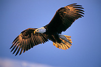 Bald eagle in flight (Haliaeetus leucocephalus).  Early morning light.