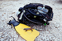 Blue whiptail lizard, Cnemidophorus murinus ruthveni, Netherland Antilles, Caribbean, Atlantic, Bonaire, Washington Slagbaai National Park, Boka Chikitu