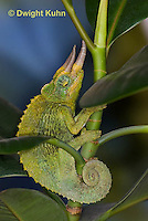 CH35-629z  Male Jackson's Chameleon or Three-horned Chameleon, close-up of face, eyes and three horns, Chamaeleo jacksonii