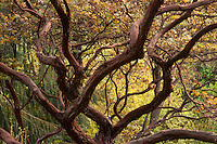 Arctostaphylos pajaroensis - Pajaro Manzanita in Tilden California Native Plant Botanic Garden.