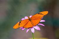 Julia Butterfly, Julia Heliconian, The Flame, or Flambeau (Dryas iulia).  Found Texas, Florida south to Brazil.