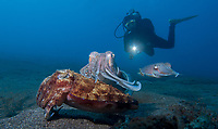 Mating Broadclub Cuttlefish and diver