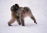 Japanese Macaques, Japanese Alps, Honshu Island, Japan