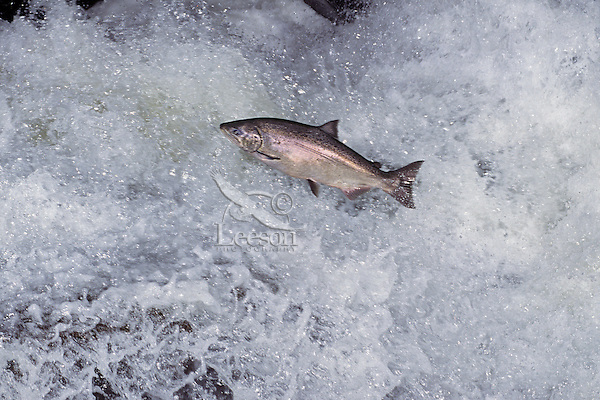 A bright (freshly from saltwater) Chinook Salmon or King Salmon (Oncorhynchus tshawytscha) leaping falls during migration to its spawning area.  Pacific Northwest.