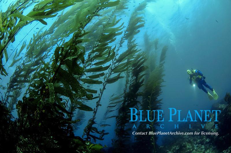 Scuba diver outside kelp bed, Macrocystis pyrifera, Anacapa Island, Channel Islands, California, USA, Pacific Ocean