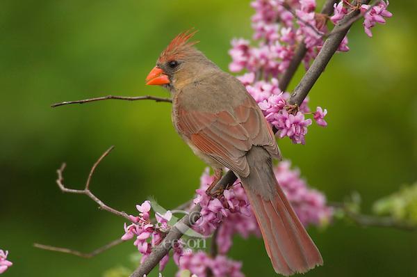 Female Northern Cardinal (Cardinalis cardinalis). Great Lakes Region. Spring.