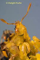 AM10-539z  Ambush Bug, female face, close-up of eyes, beak and antennae, Phymata americana