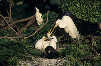 Great Egret, Ardea alba, adult at nest with young, High Island, Texas, USA, May 2001