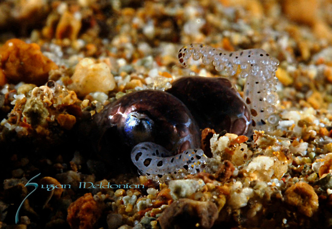 Berry's Bobtail Squid, Euprymna berryi covering itself