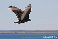 0111-0961  Flying Turkey Vulture, Cathartes aura  © David Kuhn/Dwight Kuhn Photography