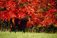 Quarter horse in fall meadow with brilliant red maple foliage