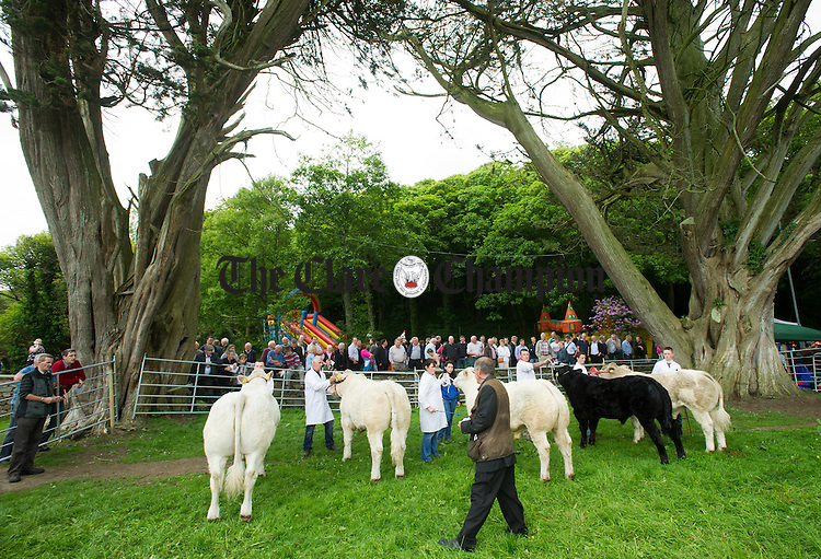 Cattle lined up to be assessed by stock judges during the North West Clare Show on the grounds of The Falls Hotel at Ennistymon. Photograph by John Kelly.