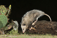 Virginia Opossum, Didelphis virginiana, adult at night walking on log, Uvalde County, Hill Country, Texas, USA, April 2006
