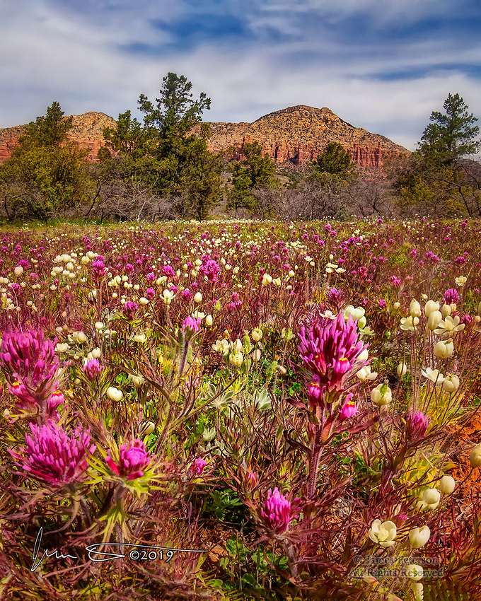 Owl's Clover and Cream Cups near Sedona, Arizona ©2019 James D Peterson.  We've had a very wet winter this year, and the local flora are clearly taking advantage of it!