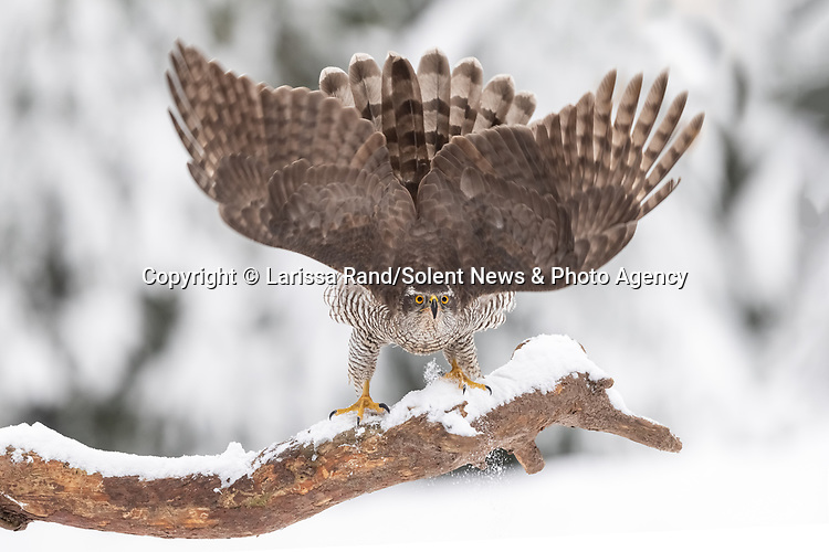 """A goshawk looks like it's wearing a striking fascinator as it takes a defensive pose after spotting an incoming attack from a buzzard in a snowy wood.Larissa Rand, 46, managed to capture a goshawk prepping itself for conflict with a buzzard, which was flying in to try and steal the goshawks catch. <br /> <br /> Larissa visited her local woods near Tilburg, in Noord-Brabant, Holland.  She said """"The goshawk flew away after it was pushed off the branch which was a suprise due to the fact a goshawk looks more powerful and is more aggressive normally"""".""""I already heard the buzzard screaming and saw the goshawk taking a defensive stance, so I tried to keep my focus on the goshawk and hoped I would get a chance to photograph the fight.  Unfortunately though, the goshawk flew off and there was no fight.""""<br /> <br /> Please byline: Larissa Rand/Solent News<br /> <br /> © Larissa Rand/Solent News & Photo Agency<br /> UK +44 (0) 2380 458800"""