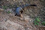 Yala National Park Sri Lanka<br /> Ruddy Mongoose