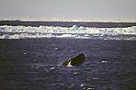 Bowhead Whale Breaching