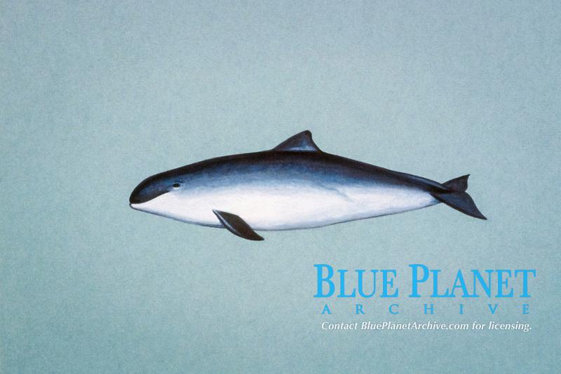 vaquita, Phocoena sinus ( illustration )