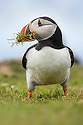 Atlantic puffin (Fratercula arctica) gathering grass for its nest. Isle of Lunga, Treshnish Isles, Scotland, June.