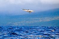 pantropical spotted dolphin calf,.Stenella attenuata, leaping, .Big Island, Hawaii (Pacific).