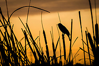 A Red-winged blackbird clings to a cattail and calls out at sunset.