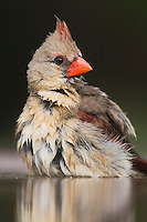 Northern Cardinal (Cardinalis cardinalis),female bathing, Rio Grande Valley, Texas, USA