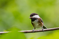 Chestnut-backed Chickadee (Poecile rufescens) singing. Pacific Northwest.  June.