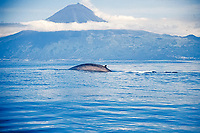 blue whale, Balaenoptera musculus, Azores Island, Portugal, North Atlantic
