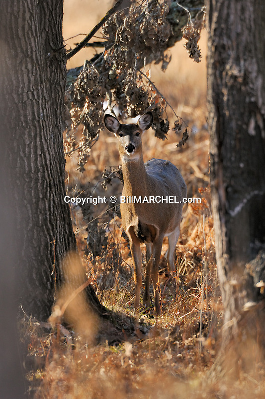 00275-194.08 White-tailed Deer (DIGITAL) doe is standing next to charred oak tree in old burn area during fall. V4F1