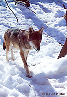 0221-1001  Critically Endangered Red Wolf in Snow, Canis rufus (syn. Canis niger)  © David Kuhn/Dwight Kuhn Photography.