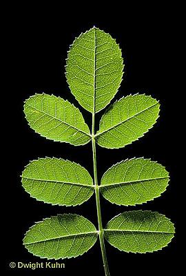 FP04-017z  Rose - leaf showing opposite leaf arrangement - Rosa spp.