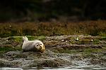 Harbor Seal (Phoca vitulina) on shore, Elkhorn Slough, Monterey Bay, California