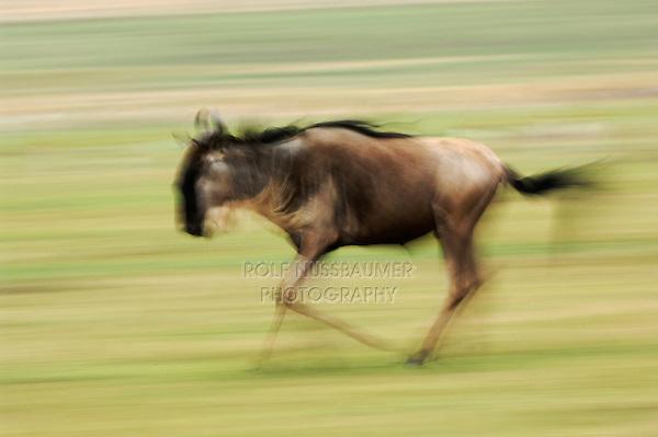 Wildebeest (Connochaetes taurinus), adult running, Masai Mara, Kenya, Africa