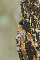 Elegant Trogon, Trogon elegans, male in nesting cavity, Madera Canyon, Arizona, USA