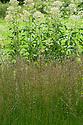 Molinia caerulea 'Heidebraut', early August.
