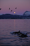 Living in all oceans of the planet, l'orcinus orca or killer whale belongs to the dolphin family. With his length of 23 feet and hihs weight of 5 tons, he's the most powerful carnivore.Orcas. Killer Whale. Tysfjord, 90 km south of Narwik. Norway...