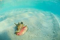 Conch shell in the sand<br /> Honeymoon Beach<br /> Virgin Islands National Park<br /> St. John<br /> US Virgin Islands
