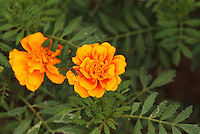 Bright yellow marigold flower pair with out of focus leaves and a fly sitting on one marigold flower