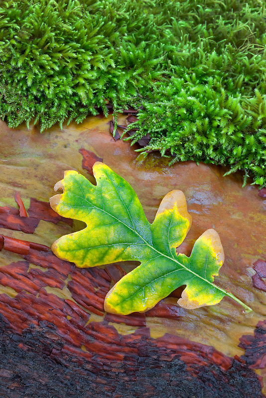 Oak leaf in fall color on madrone branch with moss. Siskiyou National Forest
