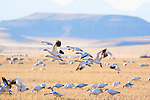 Migrating snow geese at Freezeout Wildlife Refuge in Montana. Spring migration stop on route north through Montana.