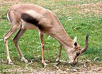 0602-1109  Speke's Gazelle, Grazing on Grass, Smallest of Gazelle Species, Gazella spekei  © David Kuhn/Dwight Kuhn Photography