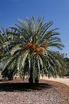 13084-CP Date Palm, Phoenix dactylifera, at California State University Fullerton Arboretum