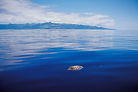 loggerhead sea turtle, Caretta caretta, hatchling Azores, Portugal, North Atlantic